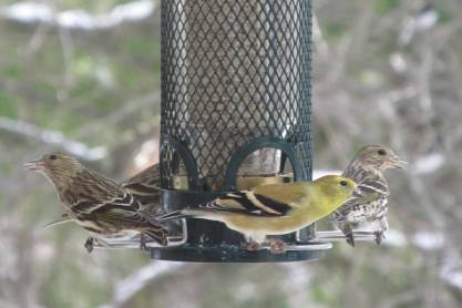 Siskins & Goldfinch_IMG_1978_Cropped