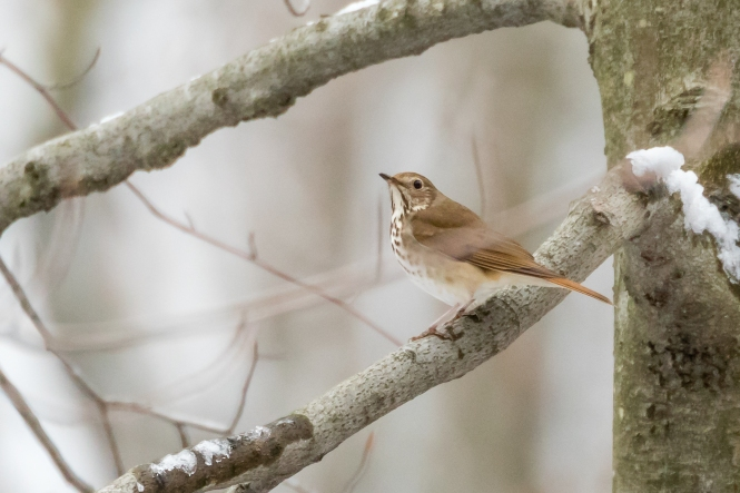 Paul Bigelow_hermit thrush_407A9377