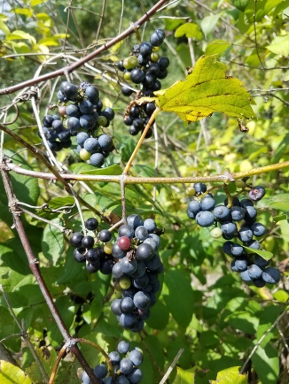 Riverbank Grape