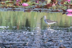 Greater Yellowlegs by Paul Bigelow