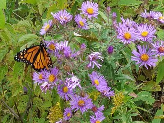 Monarch nectaring at New England Aster