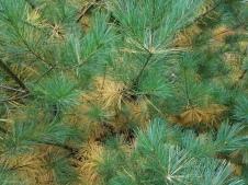 Golden oldie needles on eastern white pine