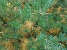 Golden oldie needles on eastern white pine