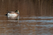 American wigeon (by Paul Bigelow)