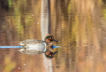 Green-winged Teal (by Paul Bigelow)