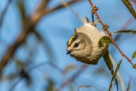 Golden-crowned Kinglet (by Paul Bigelow)