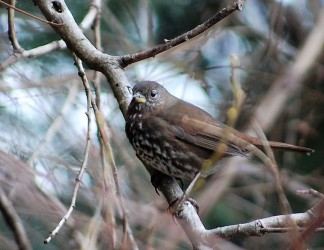 Fox Sparrow (by Brittany Rowan)