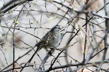 White-crowned sparrow (by Brittany Rowan)