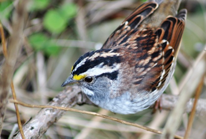 White-throated sparrow (by Brittany Rowan)