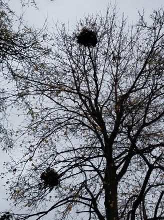 Squirrel nests evident after leaf drop