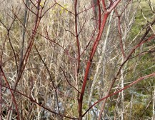 Red stems of silky dogwood