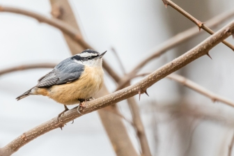 Red-breasted Nuthatch (photo by Paul Bigelow)