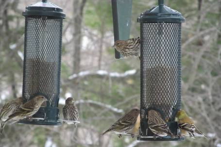 Pine Siskins with American Goldfinches