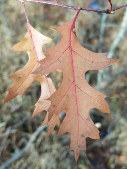 Pin oak