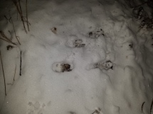 Set of tracks where white-tailed deer jumped from road edge