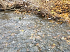 Leaves accumulating in streams