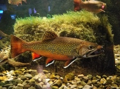 Nuptial colors of brook trout