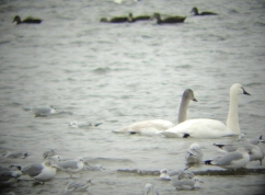 Tundra swans (photo by Jacquie Walters, NYSDEC)