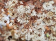 Aster seeds and fluff - food for songbirds