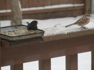 Junco and American tree sparrow