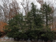 Evergreens such as these hemlock trees are evident after leaf drop