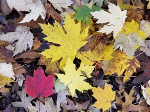 Freeman maple leaves on ground