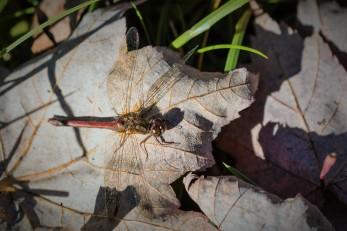 Autumn Meadowhawk (photo by Paul Bigelow)