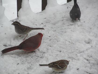 Variety of birds attracted to seed on the ground during snow event