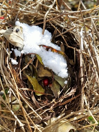 White-footed or deer mice have stored rose hips in this old songbird nest