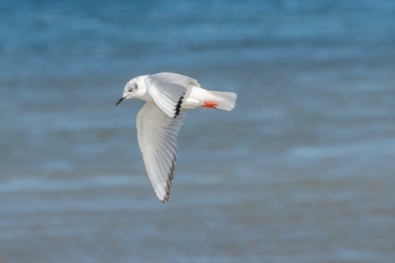 Bonaparte's gull (photo by Paul Bigelow)