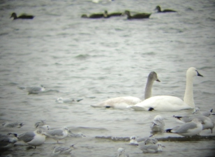 Tundra swans with a variety of ducks and Bonaparte's gulls (photo by Jacquie Walters, NYSDEC)