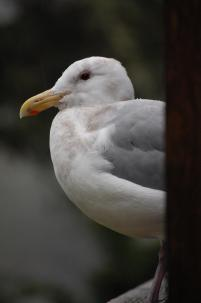 Herring gull (photo by Brittany Rowan)