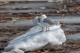 Ring-billed gulls (photo by Paul Bigelow)