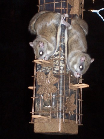 Southern flying squirrels visiting sunflower feeder in dead of night