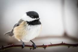 Black-capped chickadees can lower their body temperatures at night by 20° F in a controlled state of torpor (photo by Paul Bigelow)