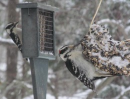 High energy suet attracts downy and hairy woodpeckers (left and right photos, respectively)