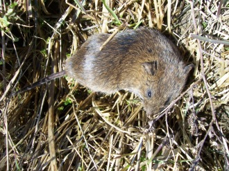 The meadow vole is the primary prey species for winter raptors in our Region.