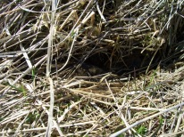 Meadow voles travel in runways under grass cover. Can you spot this vole?