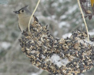 Tufted titmouse grabs a sunflower seed and quickly flies off to eat it under protective cover