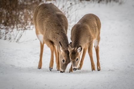 White-tailed deer in winter coats (photo by Paul Bigelow)
