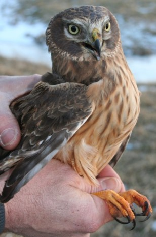 Juvenile northern harrier. Note facial disk not found in other hawks in our Region.