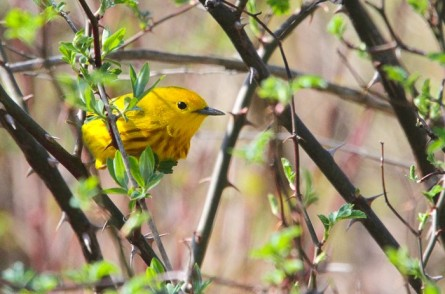 Yellow warblers that nest in our Region migrate as far south as northern South America from Colombia to French Guiana (photo by Brittany Rowan)