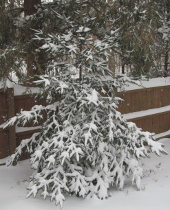 Conifers and other evergreen plantings provide protection from predators and cold winter nights