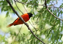 Batlimore orioles are now in Panama and Colombia (photo by Brittany Rowan)