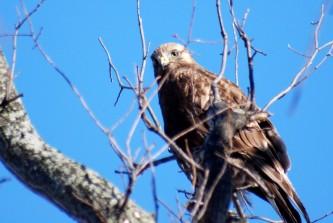 Perched rough-legged hawk (photo by Tom Poczciwinski)