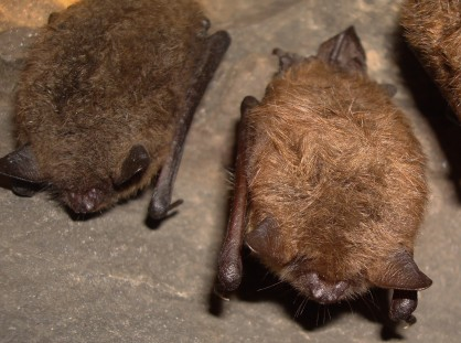 Little brown bats during NYSDEC hibernacula survey