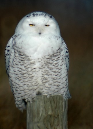 Snowy owl perched on fence post (photo by Tom Poczciwinski)