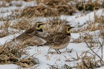 Small flocks of horned larks forage for seeds in farm fields (photo by Paul Bigelow)