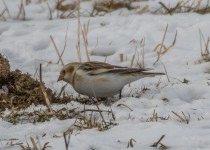 Large flocks of snow buntings forage for seeds in farm fields (photo by Paul Bigelow)