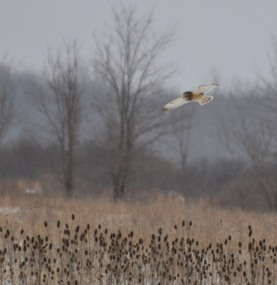 Short-eared owl foragiing over fallow field (photo by Karen Lee Lewis)